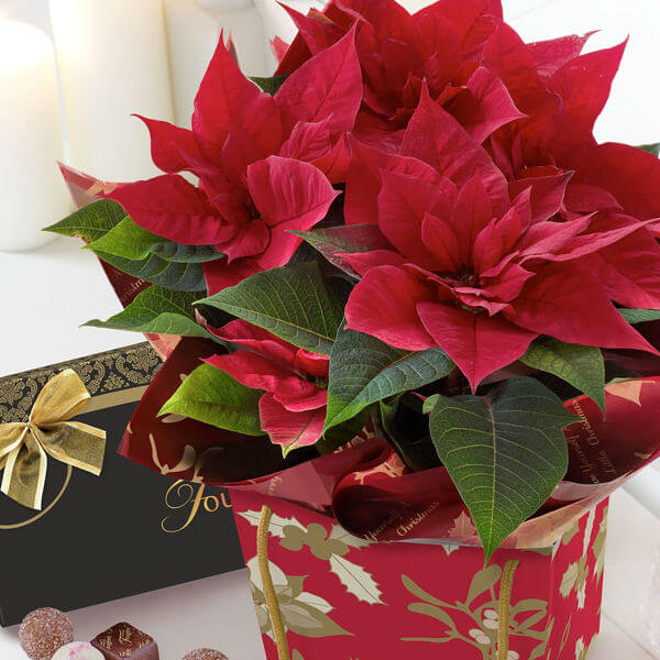 Poinsettia and Chocolates