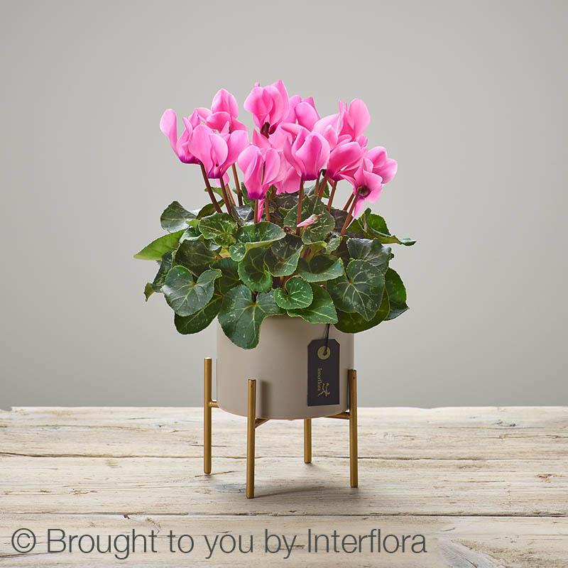 Cherry Pink Cyclamen Plant