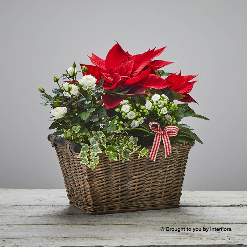 Christmas basket of plants